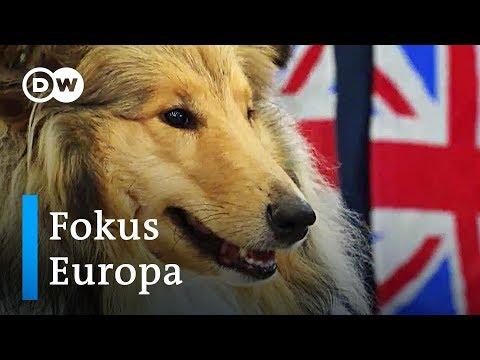 Brexit-Panik bei den Corgi-Züchtern | Fokus Europa