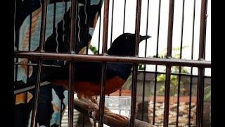 Video Tingkah Unik Burung Kitaro yang Sempat ditawar Presiden Jokowi 600 Juta MP3, 3GP, MP4, WEBM, AVI, FLV April 2019