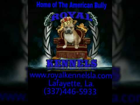 American Bully Kennel, Royal Kennels Dogs And Set-up.