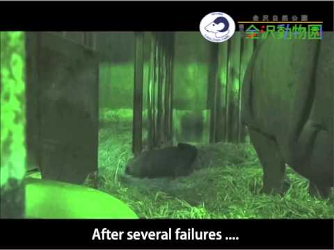 Indian Rhino's baby's first step and mother's milk in Kanazawa Zoological Garden