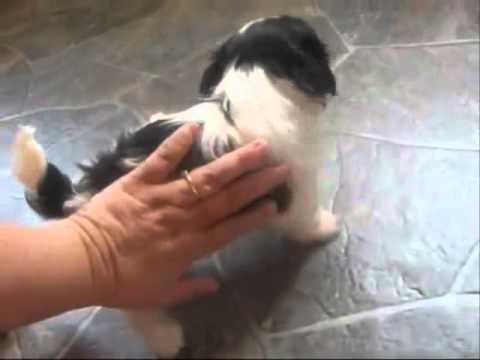>shih tzu puppies for sale