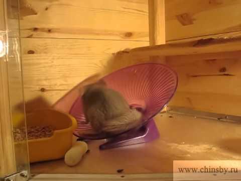 Колесо для шиншиллы видео