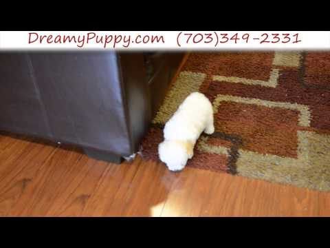 Adorable Cavachon Male Puppy