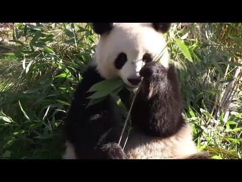 Berlin: Babyglück im Panda-Käfig des Berliner Zoos?