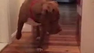 Pit Bull vs. Alpha Cat - LUV it!