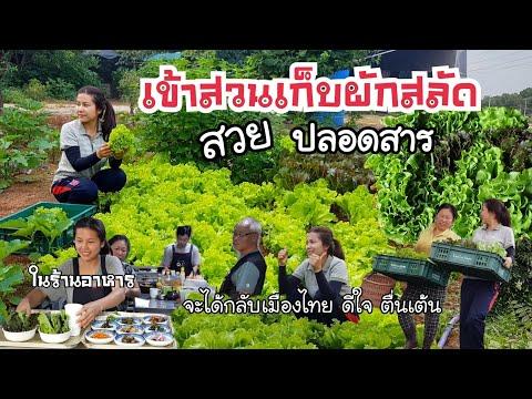 เก็บผักสลัดปลอดสาร สวยๆงามๆ/EP.186/ได้ขายได้กิน มีเงินเหลือเก็บ/สะใภ้เกาหลี by Korean