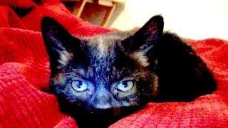 Talking Kitty Cat 29 -  Kitten Sitting