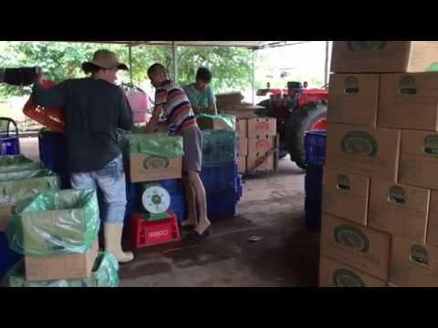 Thu nhập của người Việt làm Nông Nghiệp tại Marrakai Darwin Australia