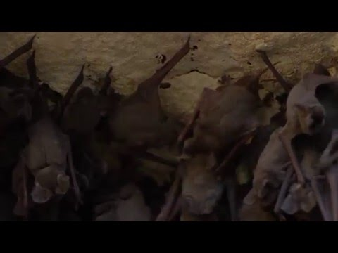 Residents of Bracken Cave: Juvenile Mexican free-tailed bats