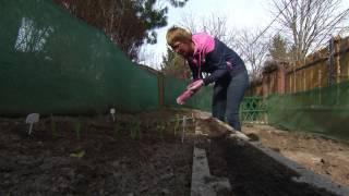 A vöröshagyma vetése és dughagymáról való termesztése