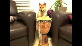 Shiba Inu Dog Doing Tricks