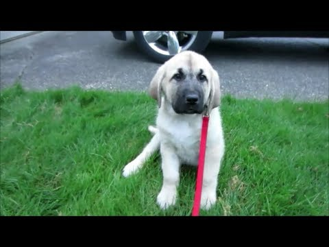 turkish shepherd dog - Meet our new puppy Harley, he is a pure bred Anatolian Shepherd from a goat farm where his mother lives and works as a livestock guardian dog. His father was...