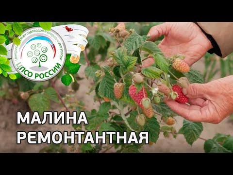 Малина ремонтантная - описание, выращивание, уход