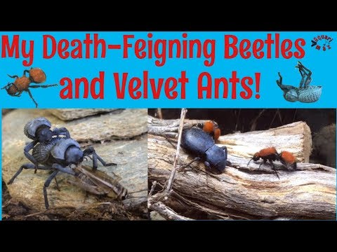 Death-Feigning Beetles and Velvet Ant Community Vivarium_Terrárium, Vivárium