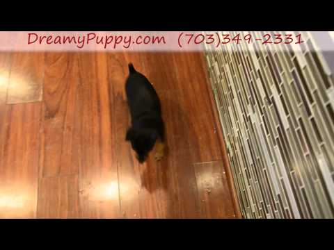 Super Cute Mini Pinscher Girl Puppy