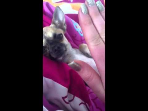 Cute teacup Chihuahua Amy
