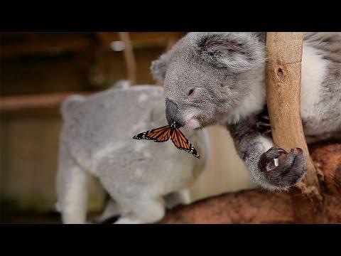 Butterfly Photobombs Baby Koala s Photoshoot