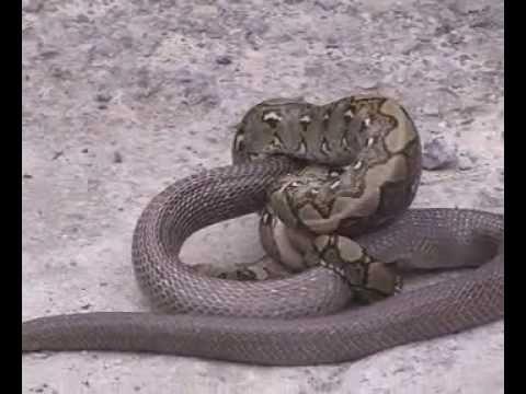 krotalias - Python vs Cobra.