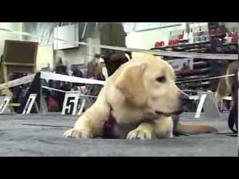 Video: Nacionālā suņu izstāde Vidzemes Olimpiskajā centrā
