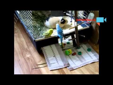 Andulák se snaží zaujmout samičku :-)
