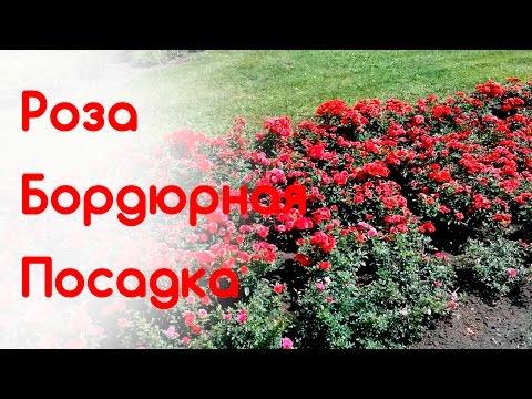 Уход за бордюрными розами в домашних условиях 843