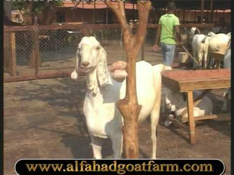 Al Fahad Goat Farm