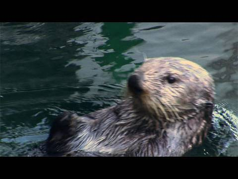 Sea Otter Poop May Help Save Species