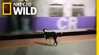 Every Night, This Dog Waits in Vain for the Same Train Car | Nat Geo Wild by Nat Geo WILD