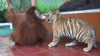 Video lucunya anak harimau dan orang utan MP3, 3GP, MP4, WEBM, AVI, FLV Agustus 2019