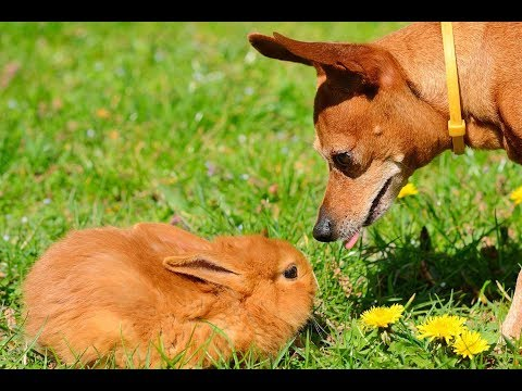 Funny cat videos - BUNNIES Trying To Befriend DOGS - Cute Rabbit And Funny Dog Videos Compilation 2018 [BEST OF]