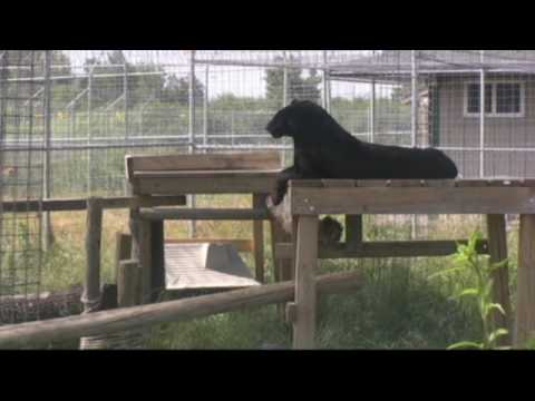 briczar22 - Check out the life at a sanctuary from a black leopards perspective, Shazam. Shazam came to TWS with six other cats from the Catskill Game Farm in New York. ...
