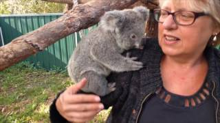 Being a koala carer (starring Sammi the koala)