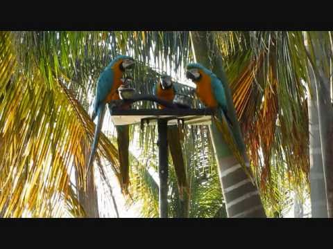 Wild Parrots, Macaws of Florida