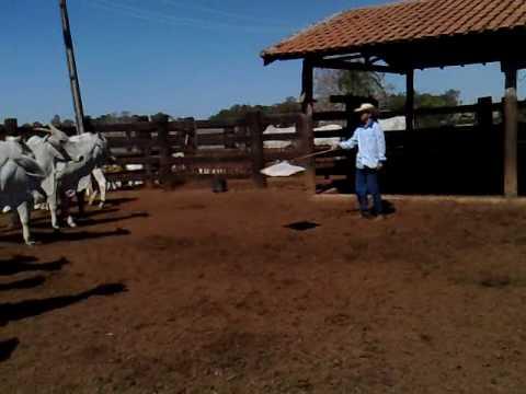 MANEJO RACIONAL DE BOVINOS FAZ BONANÇA-Montes Claros de Goiás