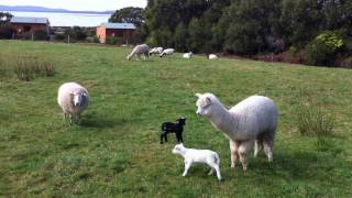 Yanakie Australia  City new picture : Alpacas playing and protecting new lambs at Coastal View Cabins, Wilsons Promontory
