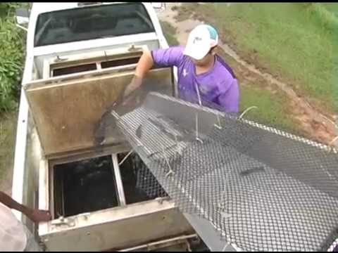Harvesting Shrimp with a Fish Pump