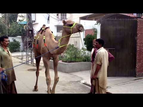 Eid ul azha qurbani - This is the best Camel Qurbani i have ever seen & if you like this Video please Subscribe.