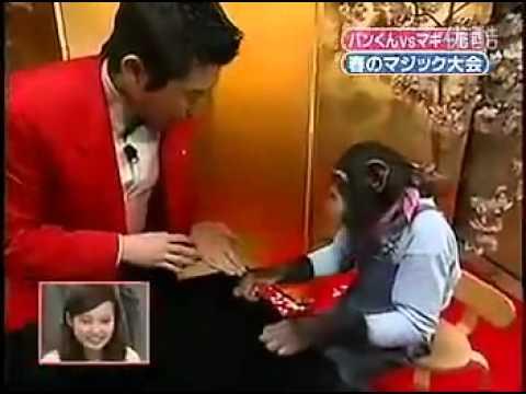 黑猩猩小龐被魔術師捉弄了!