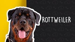 Curiosidades sobre Rottweiler
