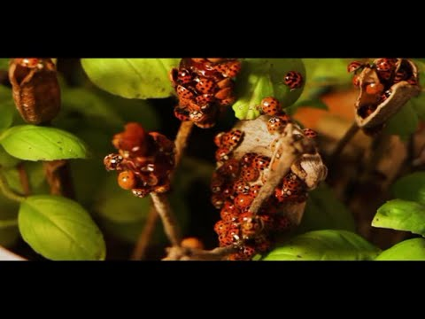 Amazing Facts About Ladybugs - Fun Facts /real ladybug videos/The Life Cycle of a Ladybug