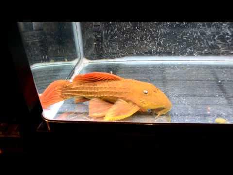 スカーレットトリムプレコ(L-024:Pseudacanthicus sp. )  フミトのBLOG