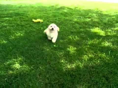 Louie...Adorable PoohChonBichPoo