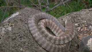 Cold  Annoyed Tiger Snake
