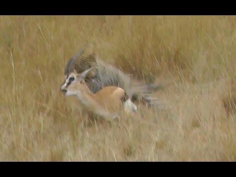 Video MUST SEE! Leopard Hunts Gazelle on Masai Mara Safari, Kenya, Africa. Full animal hunt. download in MP3, 3GP, MP4, WEBM, AVI, FLV January 2017