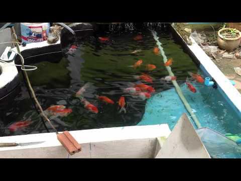 บ่อปลาทองฮอลันดายักษ์ครับ