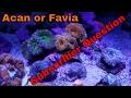 Coral Question Acan vs. Favia
