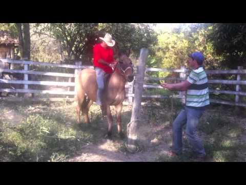 Django Carmo da Mata MG monta na mula e cai dela