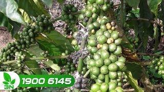 Trồng trọt | Rệp muội hại cây cà phê: Cách diệt và trị triệt để
