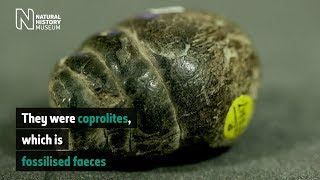 What is a coprolite?