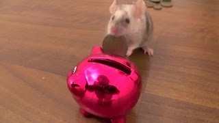 Mouse Puts Coins In A Piggy Bank